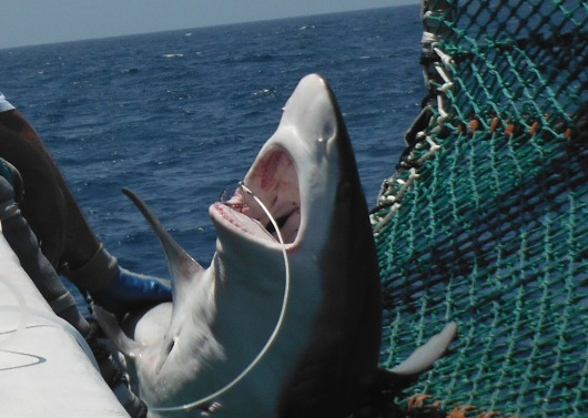 Close up of our first cradled sandbar shark.