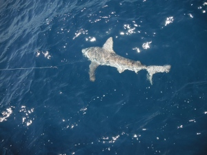 Sandbar Shark on the Line