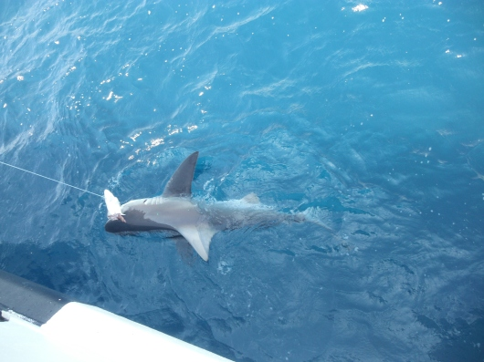 Sandbar shark with Atlantic sharpnose also on the line.