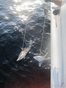Two sandbar sharks on the line.