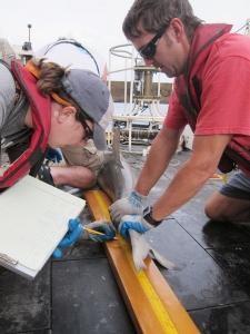 Measuring a blacktip shark