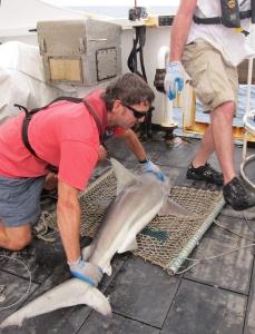 Holding a blacktip shark