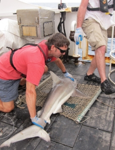 Holding a blacktip shark