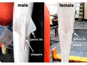 Male female shark