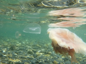 Underwater photo of two types of jellyfish. Look closely for the very small baby jellyfish.