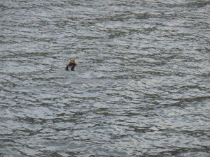 An otter that watched us go by.