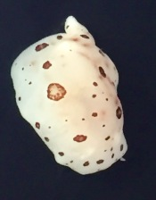 Nudibranch speciman