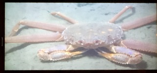 In this view of ROV live video feed, we see a Tanner crab (cousin of the snow crab)