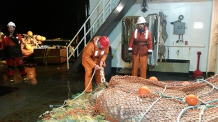 The guys working to get the net ready to dump onto the table to be start processing.