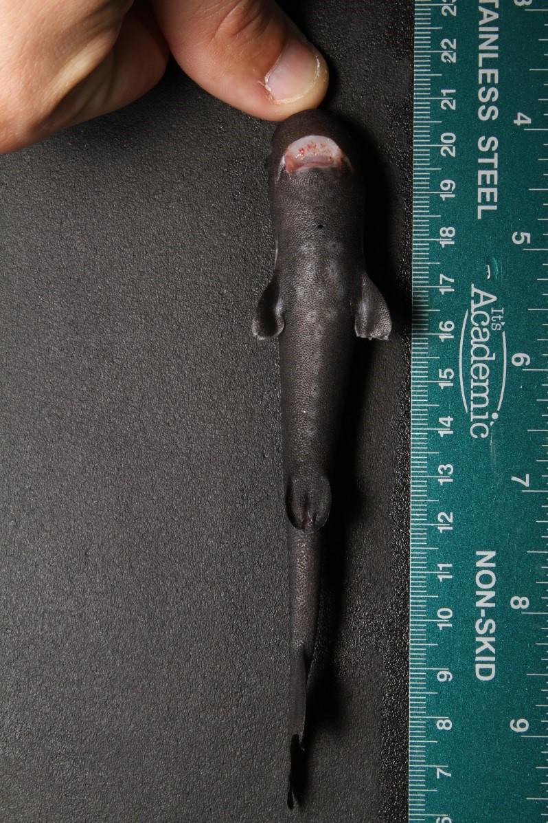 pocket shark with ruler