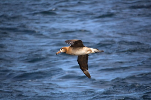 Black Footed Albatross. Photo By Kathryn Willingham