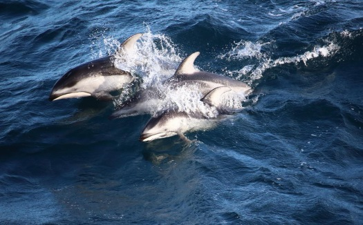 White Sided Pacific Dolphins. Photo By Kathryn Willingham