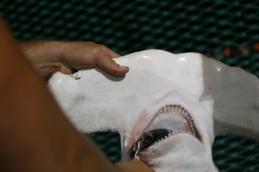 The scalloped hammerhead's flat extended head is called a cephalofoil. Photo: Matt Ellis/NOAA Fisheries