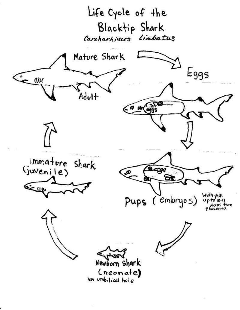 Life Cycle Diagram Noaa Teacher At Sea Blog