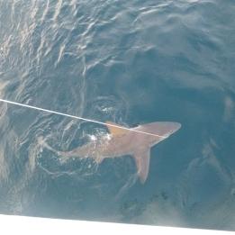Recaptured sandbar shark