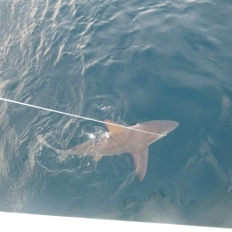 Recaptured sandbar shark