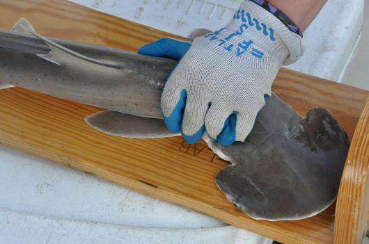 800px-noaa_fishery_science_center_measuring_bonnethead_shark_pup