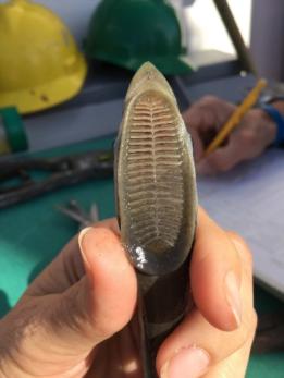 The remora's modified dorsal fin provides suction ability