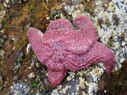 Purple seastar