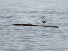 Mew gull on a floating log