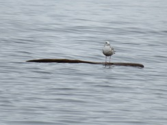 Mew gull on a floating log