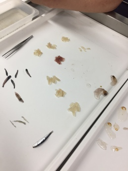 We found pyrosomes, some anchovy & market squid, as well as flat fish and salps.
