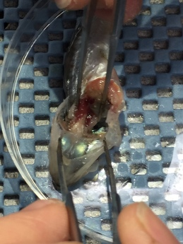 Removing otoliths from a rockfish