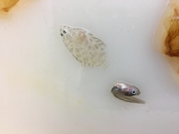 "We also caught a larval flatfish and an Age ""Zero"" pollock."