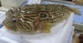 Stripped Burfish