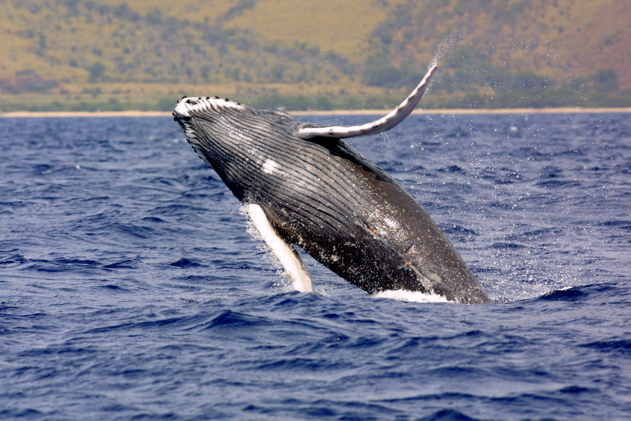 humpbackwhale_noaa_large