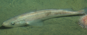 Pacific Hake or Pacific Whiting (photo courtesy of http://www.nmfs.noaa.gov/)