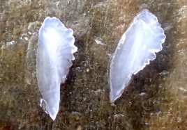 Jack mackerel otoliths (Photo Credit: Nina Rosen)