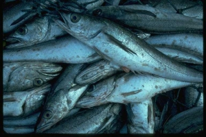 Pacific-Whiting-Fish-Watch