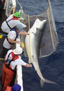 shark_measure2_small