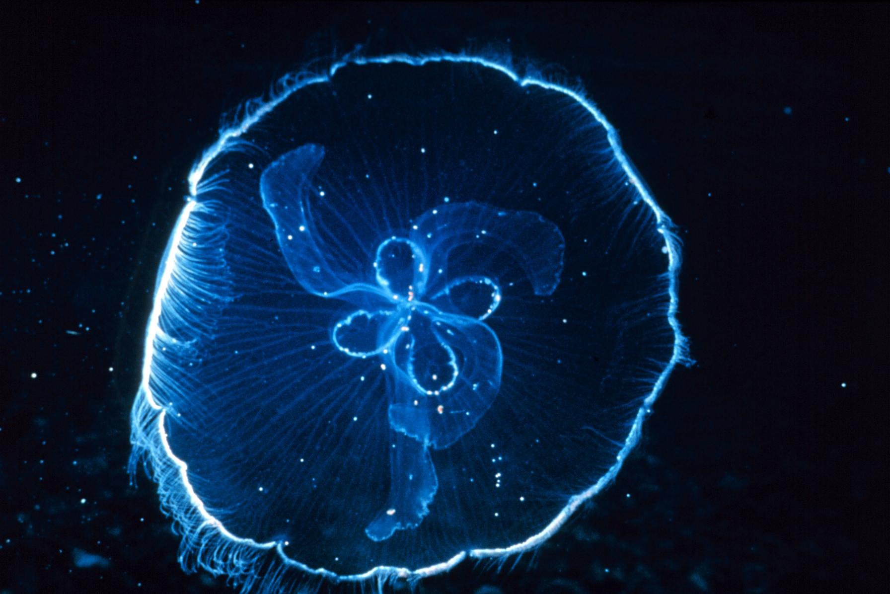 Jellyfish NOAA