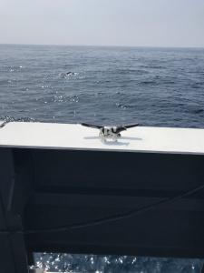 Cow at sea