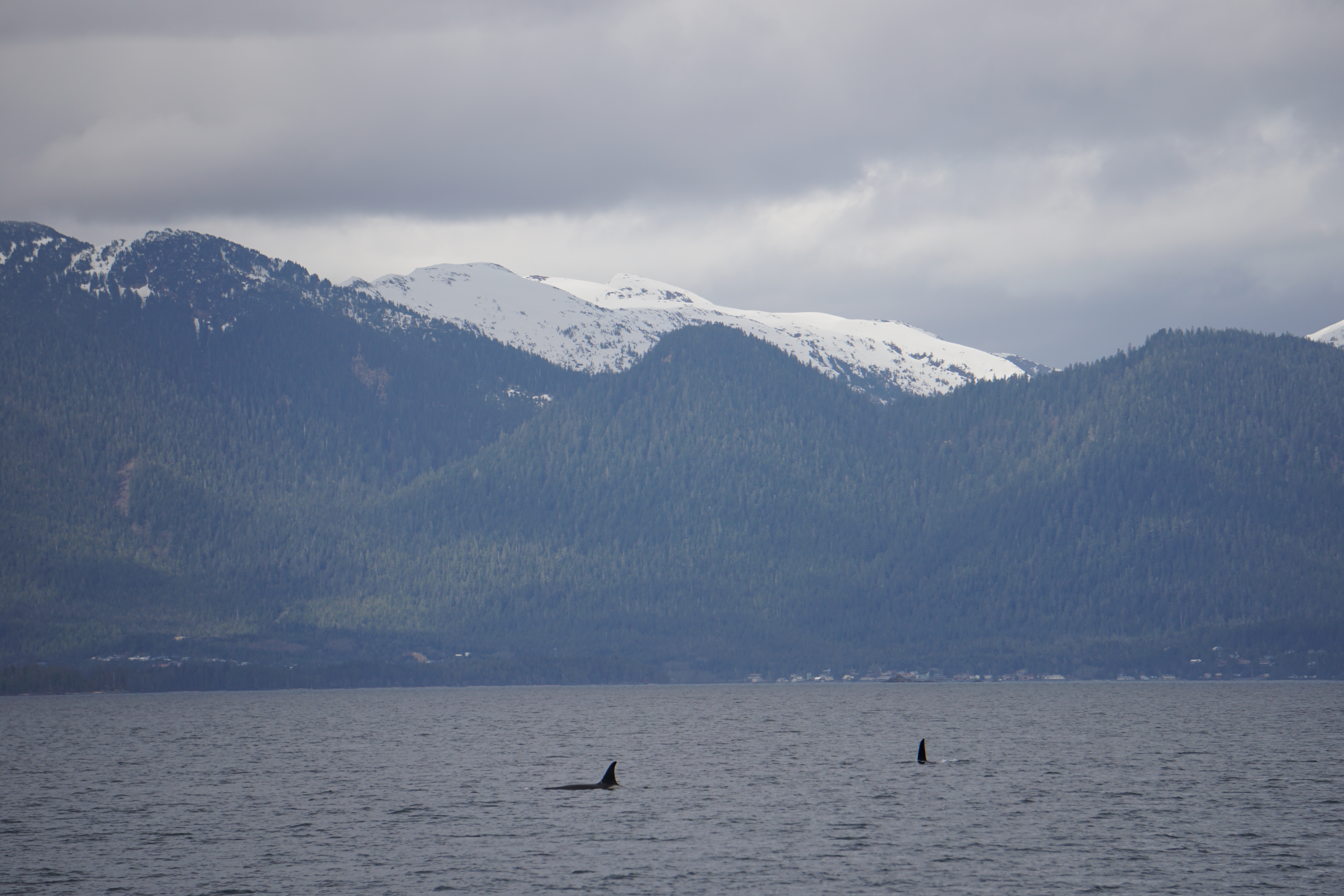 Two Orca Whales