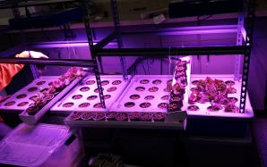 Soilless growing systems, aeroponics spray roots, fogponics mist roots, in hydroponics solution flows through pots.