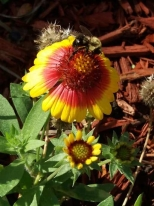A late blooming Indian blanket flower in my garden fed a hungry bumble bee.