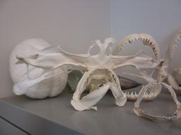 A hammerhead shark skull among shark jaws in Kristin Hannan's office