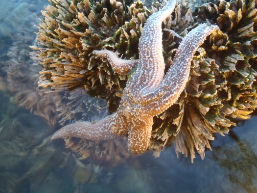 Seastar in Intertidal Zone