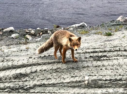 Fox in Dutch Harbor
