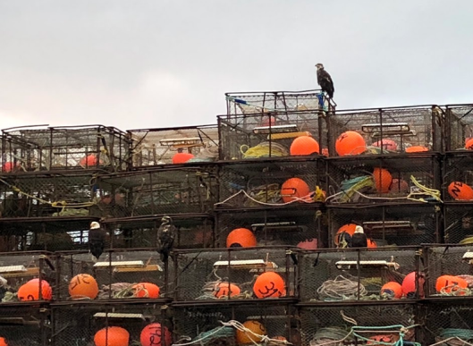 Bald Eagles on Crab Pots
