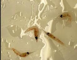 Krill (Euphausiids)