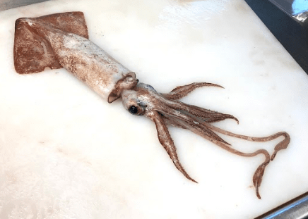 Magister Armhook Squid
