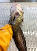 Okhotsk Snailfish belly