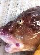 Okhotsk Snailfish side view of face