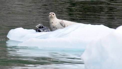 An adult seal and pup