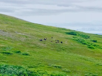 A herd of Muskox on Anvil Mountain