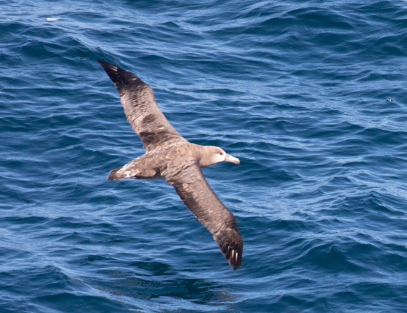 Black Footed Albatross